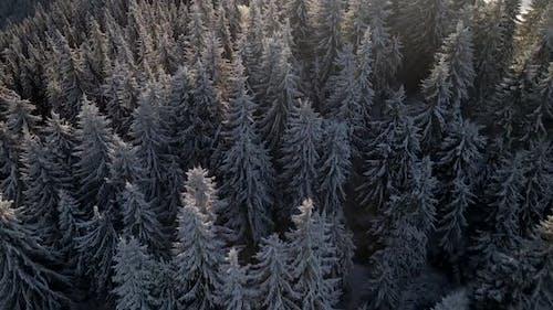 Aerial Shot of Pine Tree Tops Illuminated by Sunrise