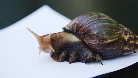 Thumbnail for African Giant Snail Achatina