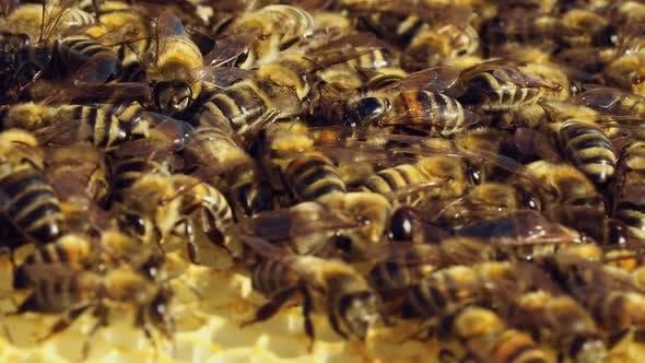 Thumbnail for Macro Shot of Bees Swarming on a Honeycomb