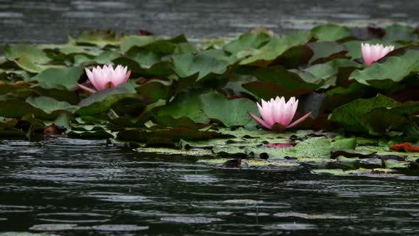 Thumbnail for Lotus Flowers On Lake Water And Rain