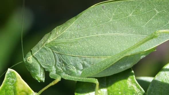 Macro of detail on Katydid wings