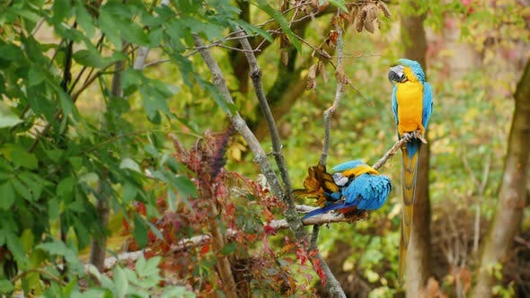 Cover Image for Two Parrots Sit on Branches in the Forest. Blue and Yellow Macaw