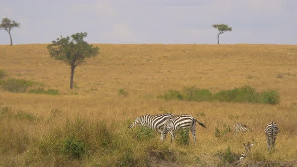 Thumbnail for Zebras grazing on grassland