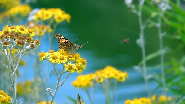 Thumbnail for Butterfly Named Vanessa Cardui On Yellow Flowers 18