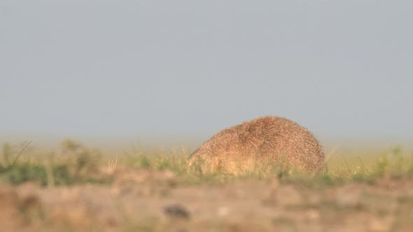 Thumbnail for Black-tailed Prairie Dog Adult Lone Eating Feeding Foraging in Summer