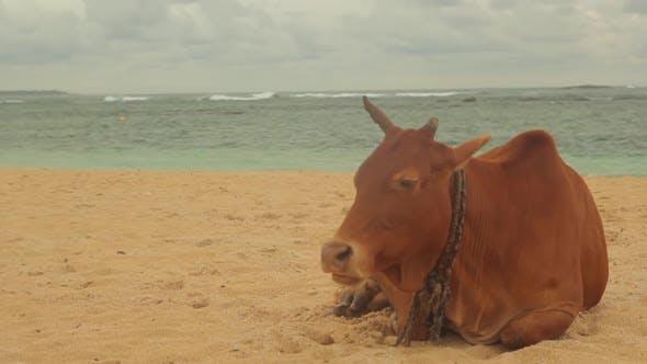 Thumbnail for Das Symbol Sri Lankas. Kuh am Strand.