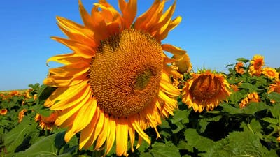 Agricultural field of sunflowers