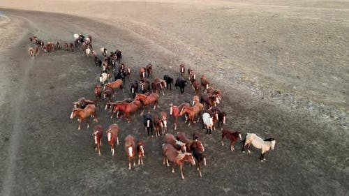 Wild Horses Running. Herd of Horses, Mustangs Running on Steppes To River.  Hdr Slow Motion