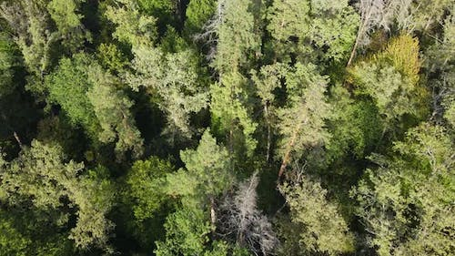 Trees in the Forest Aerial View. Slow Motion