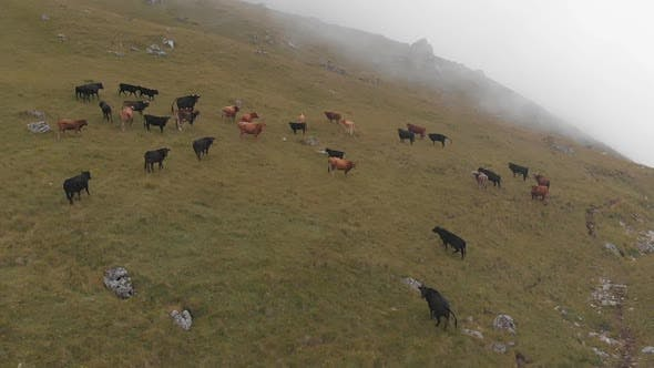 Thumbnail for Aerial Shot of a Herd of Cows Grazing in the Mountains