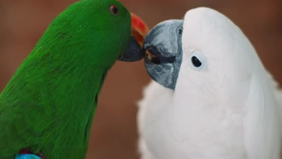 Thumbnail for Eclectus parrot and white cockatoo feeding each other, shallow depth of field