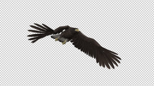 Eurasian White-tailed Eagle - Flying Transition II
