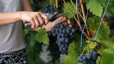 Woman Is Picking Grape