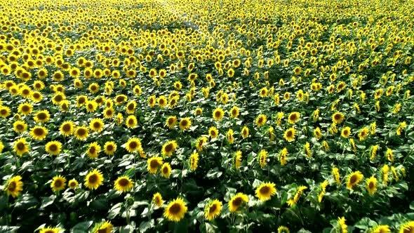 Thumbnail for Flying overSunflowers