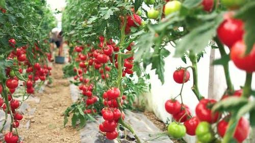 Harvesting Ripe Tomatoes in Greenhouse