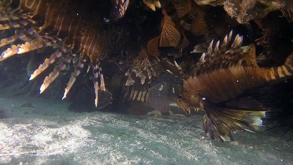 Thumbnail for School of Lionfish