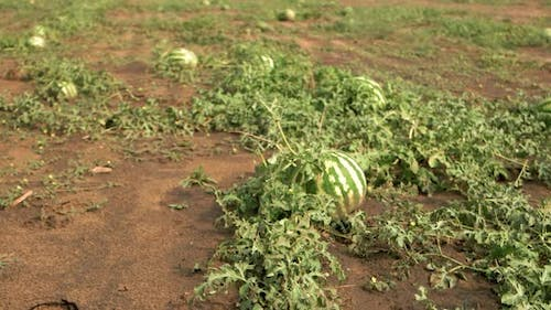 Field with Healthy Organic Watermelons