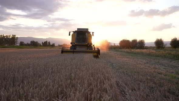 Combiner harvesting the wheat field