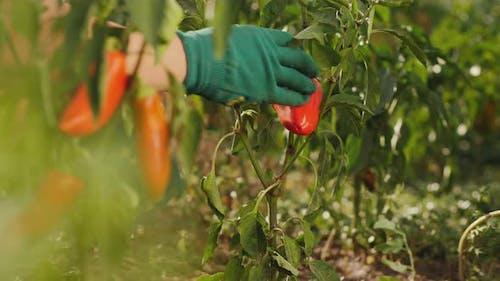 Bell Pepper Harvest, Organic Homegrown Vegetables