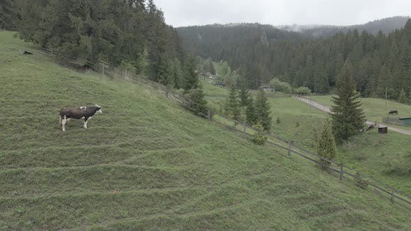 Thumbnail for Ukraine, Carpathians: Cow in the Mountains. Aerial, Gray, Flat