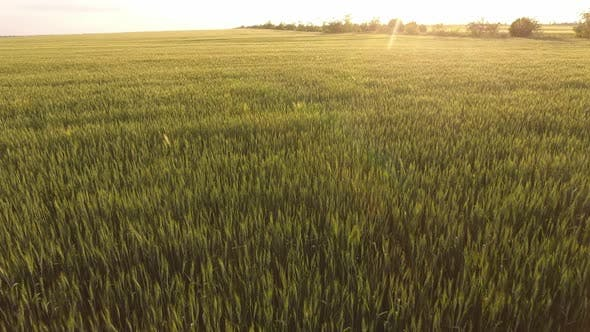 Thumbnail for Aerial of the Sunny Green Wheat Area with Waving Spikelets at Sparkling Sunset