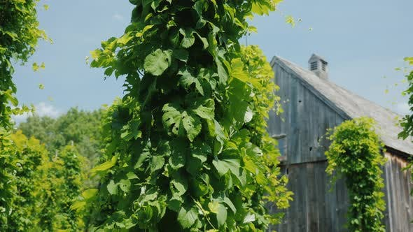 Thumbnail for Antikes Holzhaus, im Vordergrund Hopfen Pflanzen