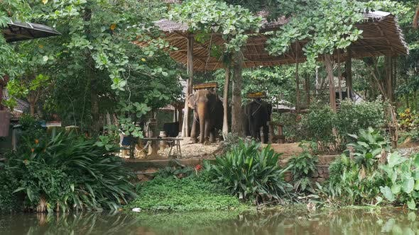 Thumbnail for Elephants in Phuket Thailand