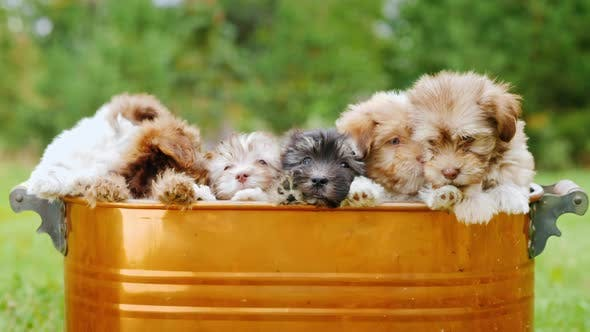 Thumbnail for A Large Dog Family of Puppies Sits in a Bucket