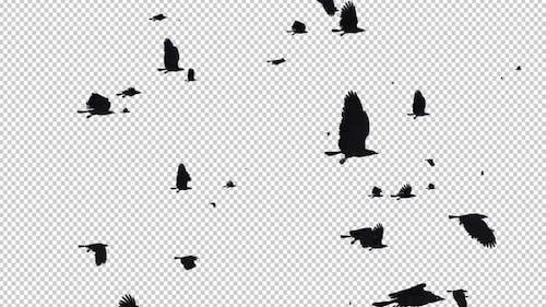 Black Birds - Große Herde - Passing Loop