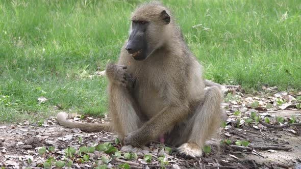 Cover Image for Baboon sits on the ground and eat seeds