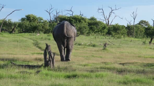 Cover Image for Bull elephant walks slowely away