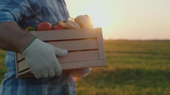 A Farmer Wearing Gloves Carries a Wooden Box of Vegetables Along the Field