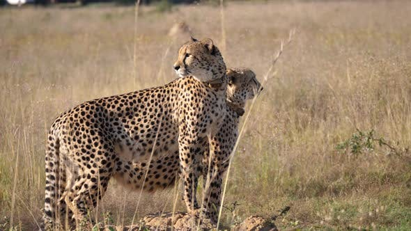Thumbnail for Two cheetahs stand together and look around