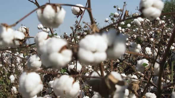 Cotton Bush with Cute Flowers on Wide Field at Soft Wind