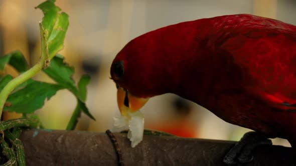 Thumbnail for Chattering Lory eating fruit