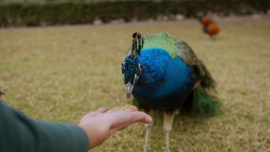 Thumbnail for Beatiful Colorful Peacock Interacts with a Man, Feeds From Hands.