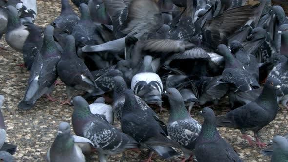Thumbnail for Animal Bird Pigeon Doves 10