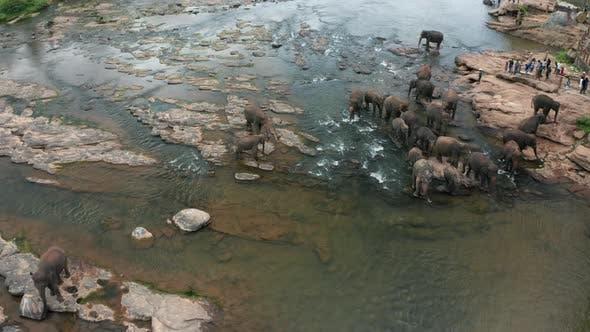 Elephants Bathing in the River. Pinnawala Elephant Orphanage. Sri Lanka.