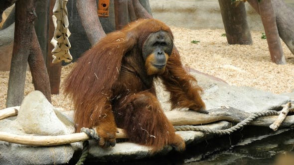 Thumbnail for Tired orangutan sitting on a branch in the zoo.