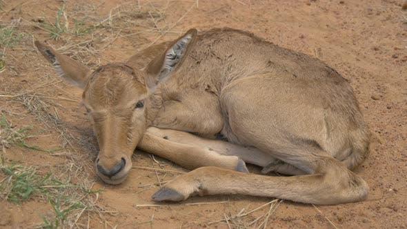 Thumbnail for An antelope calf