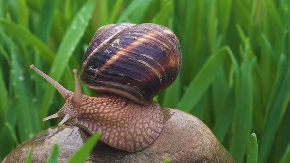 Thumbnail for Snail Crawls Along Green Grass In Rain