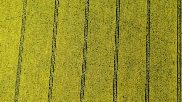 Vue aérienne au-dessus d'un champ de colza jaune en été