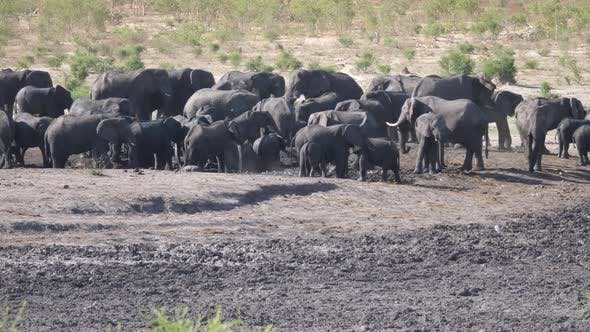 Thumbnail for Big herd of African Bush elephants