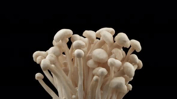 Thumbnail for Cultivated Flammulina Velutipes Enoki Mushrooms. Rotating. Isolated on the Black Background. Close