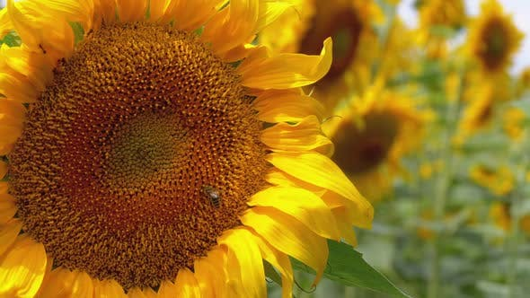 Thumbnail for Sunflower in the Field and Bee Crawling on It