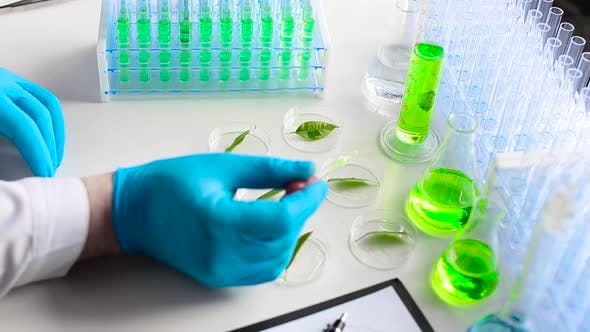Thumbnail for A Scientist Drips a Drug To Accelerate Growth on Green Leaves in Petri Dishes