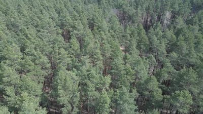 Green Pine Forest By Day Aerial View