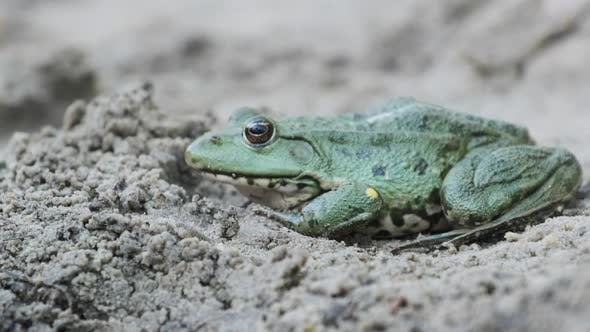 Frog Sit on the Sand Near the River Bank. Portrait of Toad