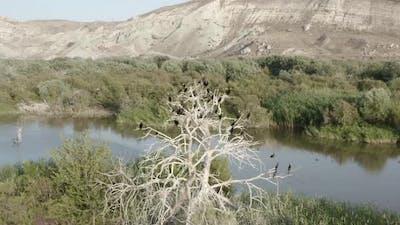 Cormorant Colony Nests on Dry Trees