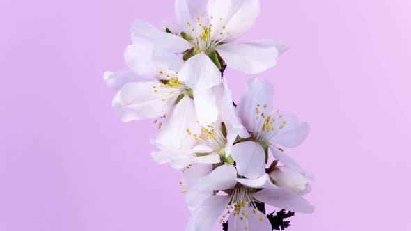 Cover Image for Almond Flower Blossom Timelapse